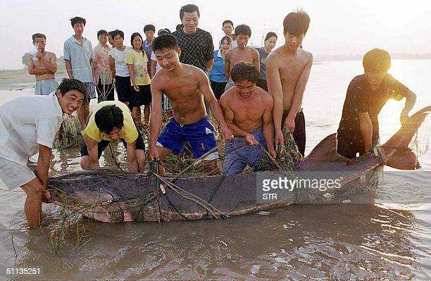 A group of Chinese fishermen lift a giant Chinese river sturgeon they caught in the Yangtze river near Wuhan central China's Hubei province 01 August...