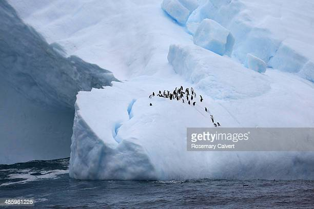 group of chinstrap penguins on large iceberg - chinstrap penguin stock pictures, royalty-free photos & images