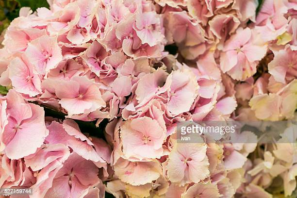 A Group of Colorful Pink Hydrangea Flowers
