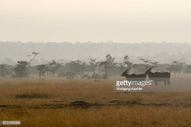 A group of common elands early morning at the Ol Pejeta Conservancy in Kenya