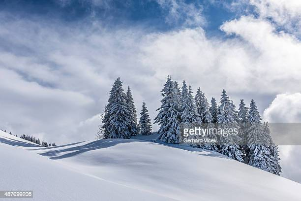Group of coniferous trees with snow and hoarfrost, Brixen im Thale, Brixen Valley, Tyrol, Austria