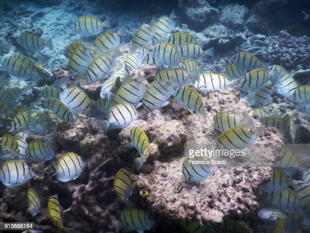 Group of Convict Surgeonfish (Acanthurus triostegus) Feeding On Coral Formation