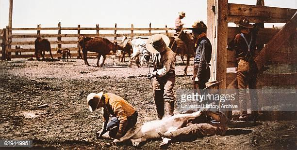 Group of Cowboys Branding Calves Colorado USA circa 1900