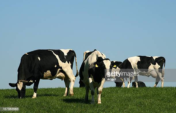Group of Cows in a Field