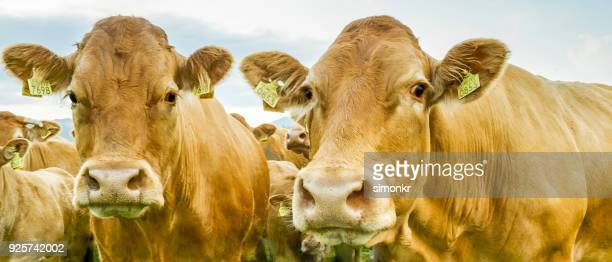 Group of cows on landscape