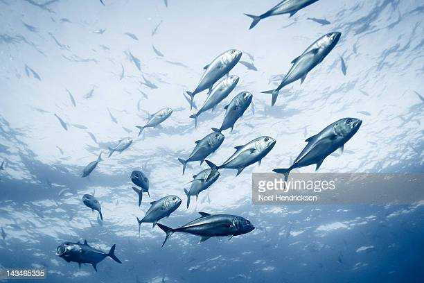 A group of crevalle jack fish in the ocean