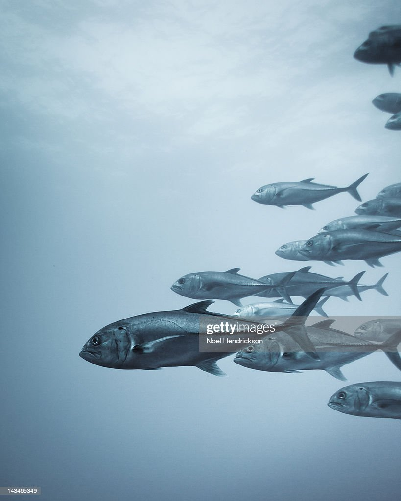 A group of crevalle jack fish in the ocean : Stock Photo