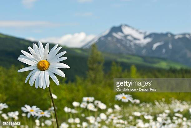 A Group Of Daisies Grow In The Meadows Of Turnagain Pass In Chugach National Forest, Kenai Peninsula, Southcentral Alaska, Summer