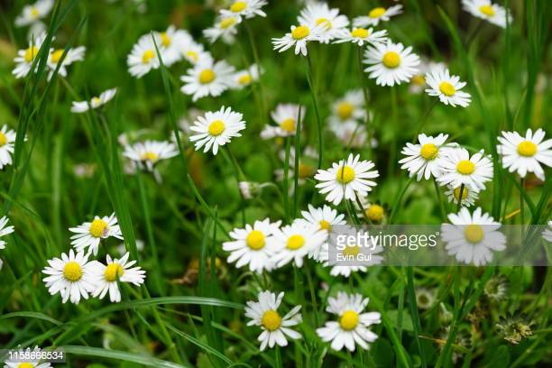 group of daisy flowers