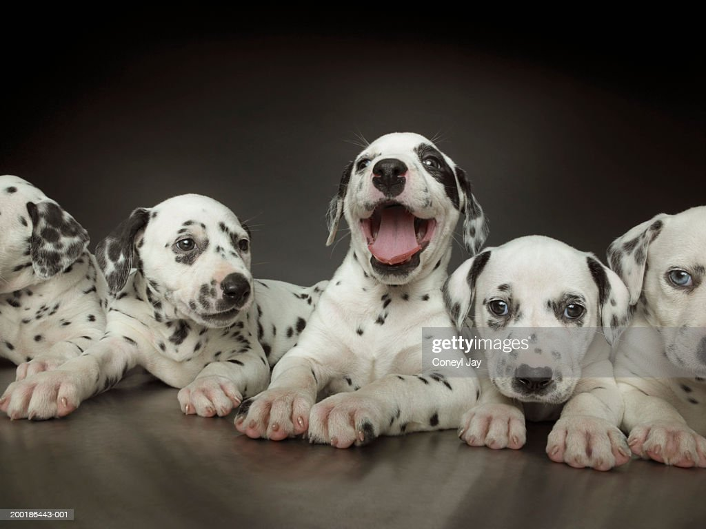 Group Of Dalmatian Puppies In Line One In Centre Panting Stock Photo