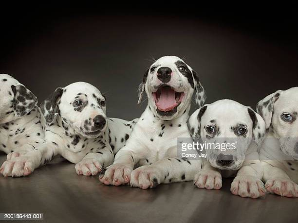 group of dalmatian puppies in line, one in centre panting - puppies stock pictures, royalty-free photos & images