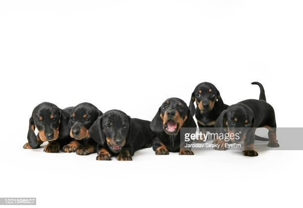 group of dashund puppies - czech hunters stock pictures, royalty-free photos & images