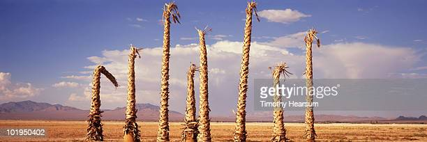 group of dead palm trees with mountains and clouds - timothy hearsum stock pictures, royalty-free photos & images