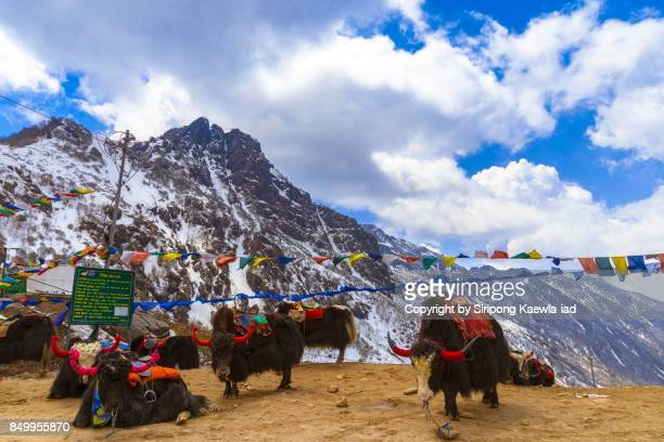 a group of decorated yaks are standing in front of the snow mountain in background at tsomgo (changu) lake, north sikkim, india. - sikkim stock pictures, royalty-free photos & images