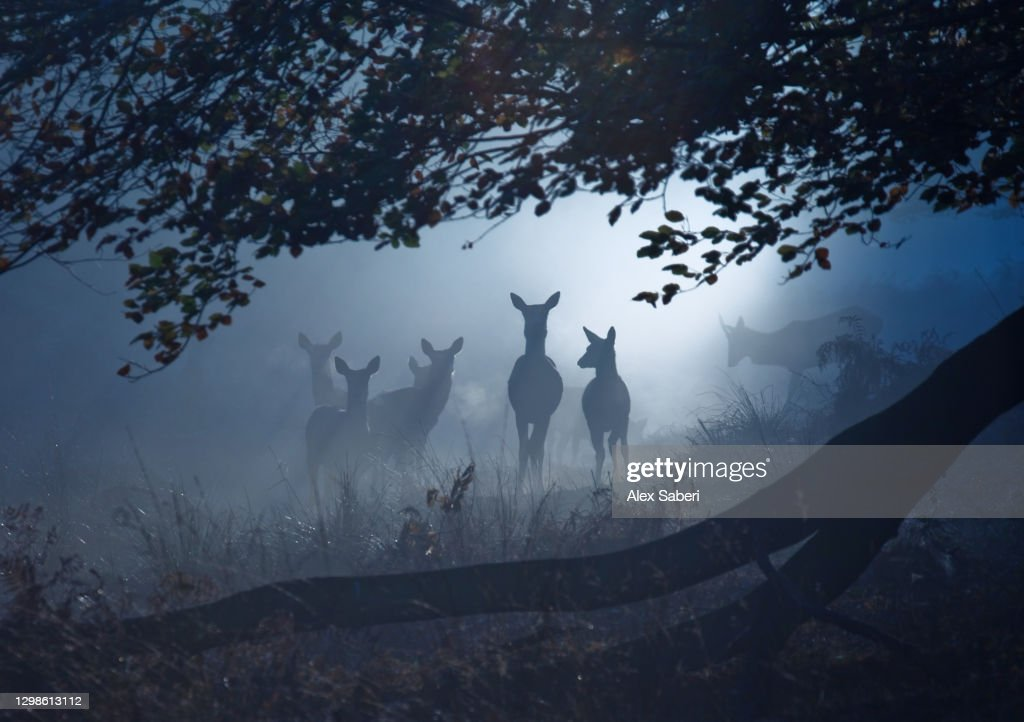 A group of deer in a misty forest. : ストックフォト