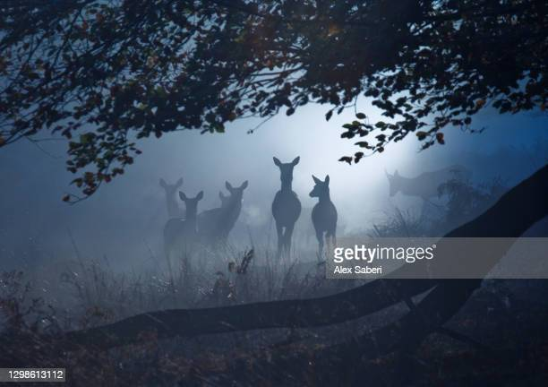 a group of deer in a misty forest. - alex saberi stock pictures, royalty-free photos & images