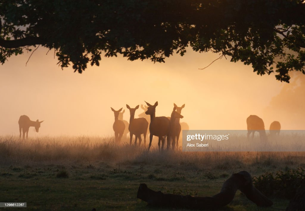 A group of deer in the mist. : ストックフォト