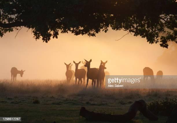 a group of deer in the mist. - alex saberi stockfoto's en -beelden