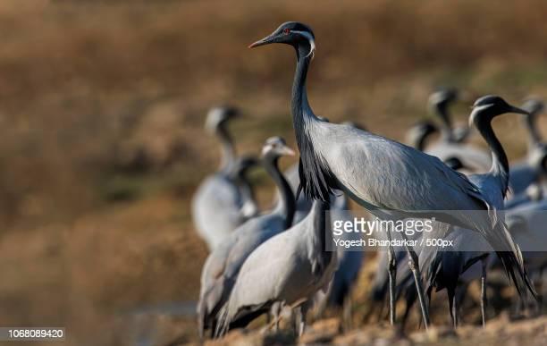 group of demoiselle cranes (grus virgo) - crane bird stock pictures, royalty-free photos & images