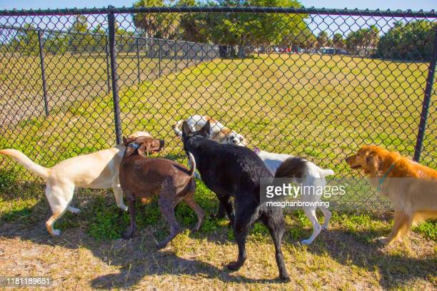 group of dogs on either side of a fence in a public park, united states - off leash dog park stock pictures, royalty-free photos & images