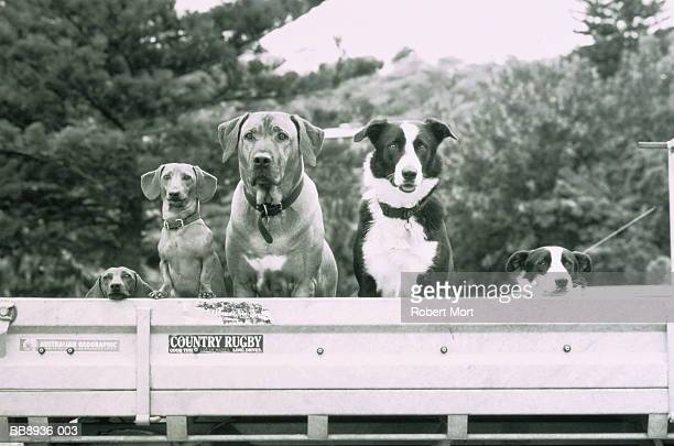 Group of dogs sitting in rear of pickup truck (B&W)