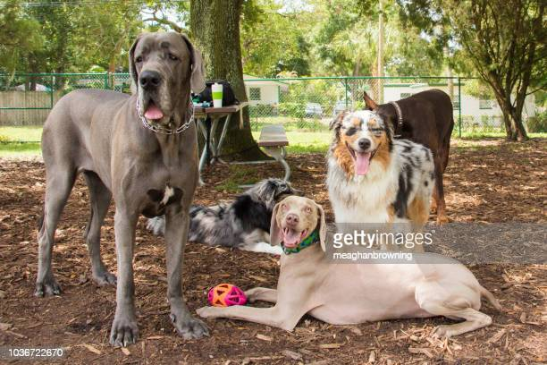 group of dogs standing in the park, united states - pack of dogs stock pictures, royalty-free photos & images