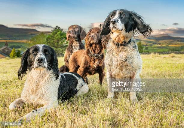 group of dogs standing on a field, settle, yorkshire, united kingdom - springer spaniel stock pictures, royalty-free photos & images