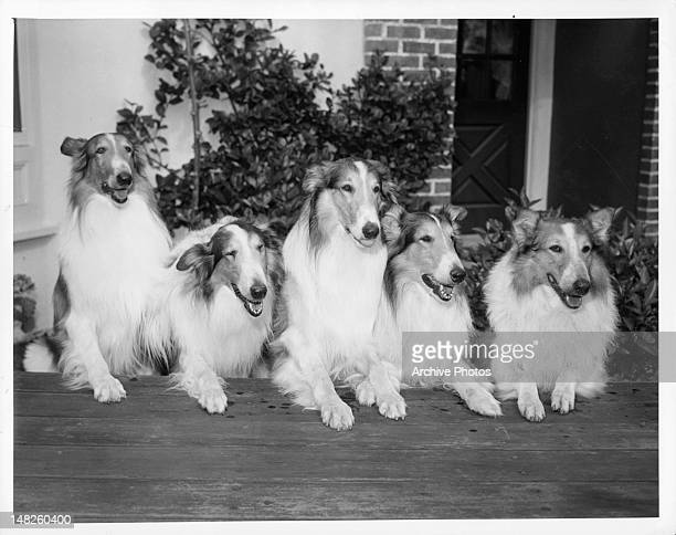 A group of dogs that take turns playing the role of Lassie in a scene from the film 'Sun Comes Up' 1949