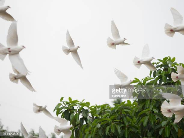group of dove flying - colomba foto e immagini stock