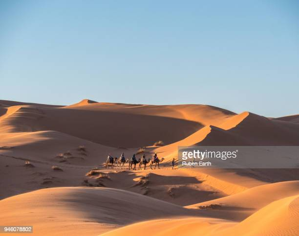 group of dromedary camels in the sahara desert - merzouga stock pictures, royalty-free photos & images