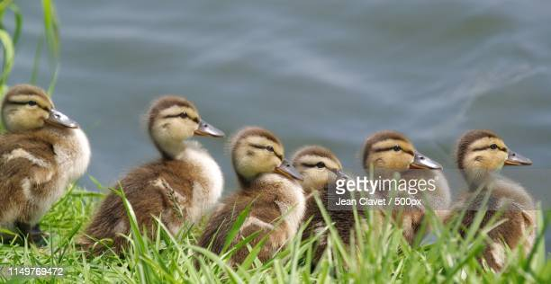 group of ducklings - duckling stock pictures, royalty-free photos & images