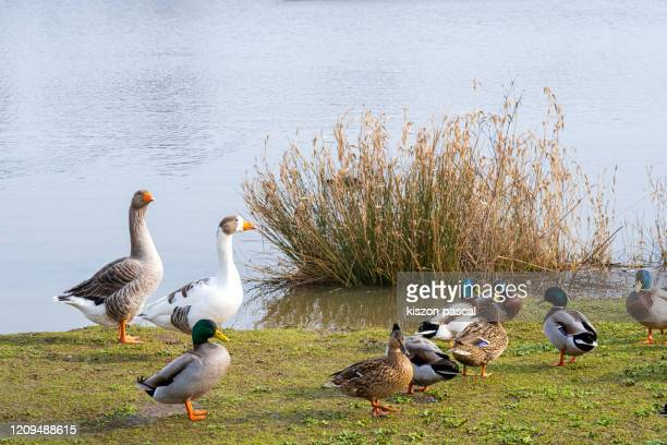 group of ducks and gooses in a park . - グレイグース ストックフォトと画像