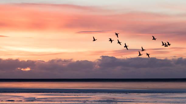Group Ducks Flying Over Sea - Fine Art prints