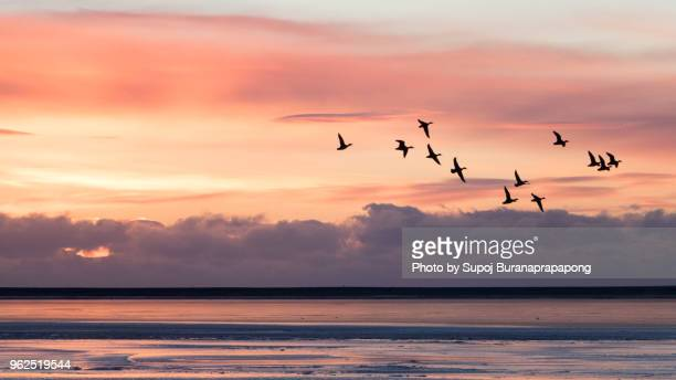 group of ducks flying over the sea with morning sunrise in background at jokulsarlon, iceland - duck bird stock photos and pictures