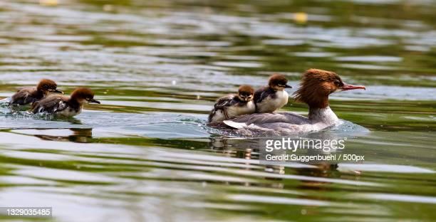 a group of ducks swimming in a lake,dietikon,switzerland - gerold guggenbuehl stock-fotos und bilder