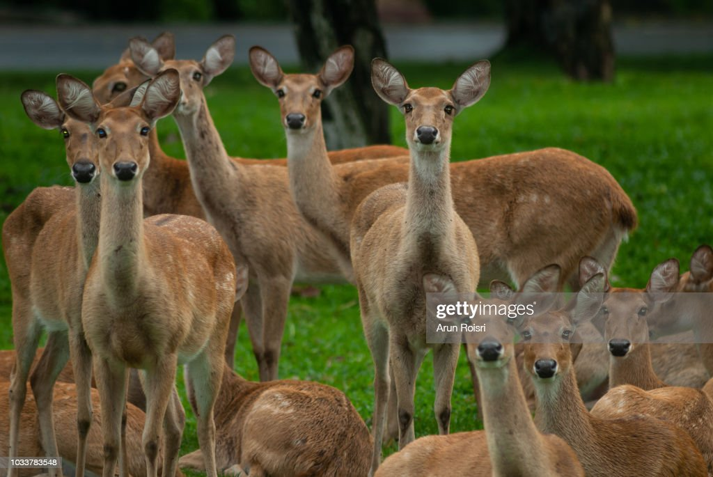 Group Of Elds Deer Thamin Browantlered Deer In Zoologigal Park Thailand High Res Stock Photo Getty Images