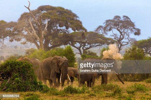 Group of elephants are walking at Amboseli plains