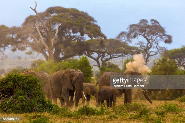 Group of elephants are walking at Amboseli plains