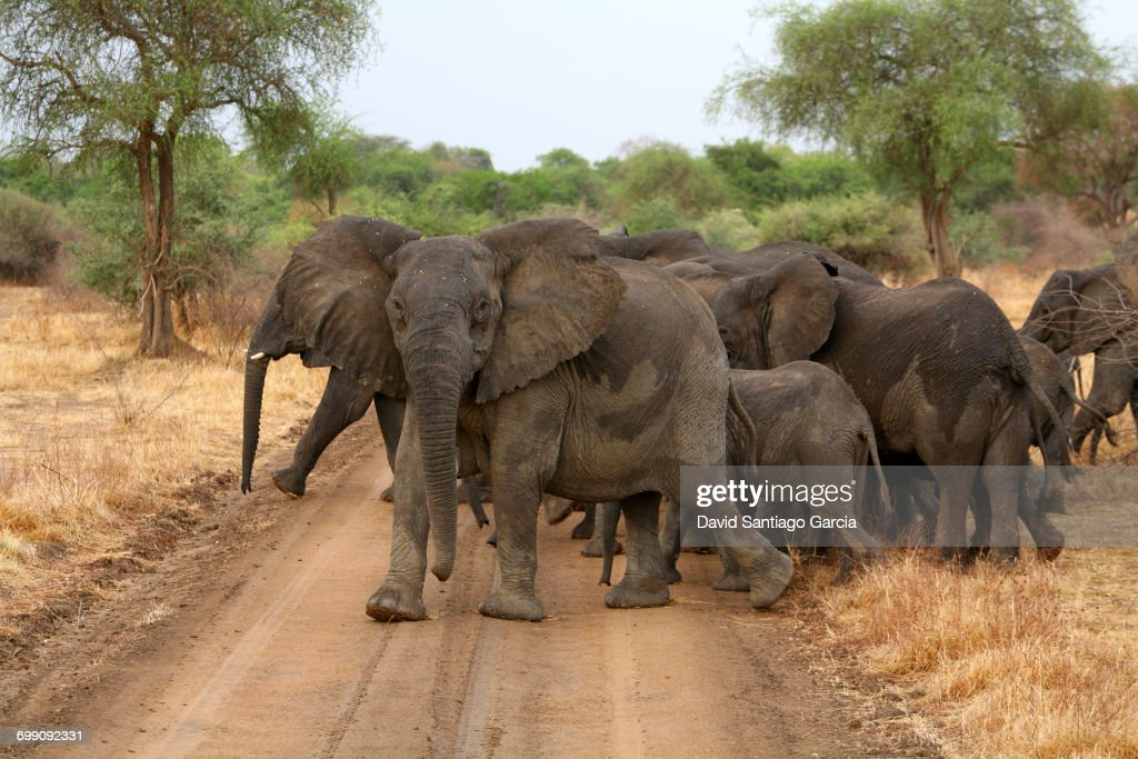 Group of elephants crossing a dirt track in the Zakouma National Park. Chad : Stock Photo