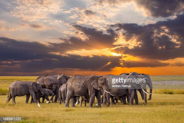 group of elephants in the african savanna at sunset. - un animal fotografías e imágenes de stock