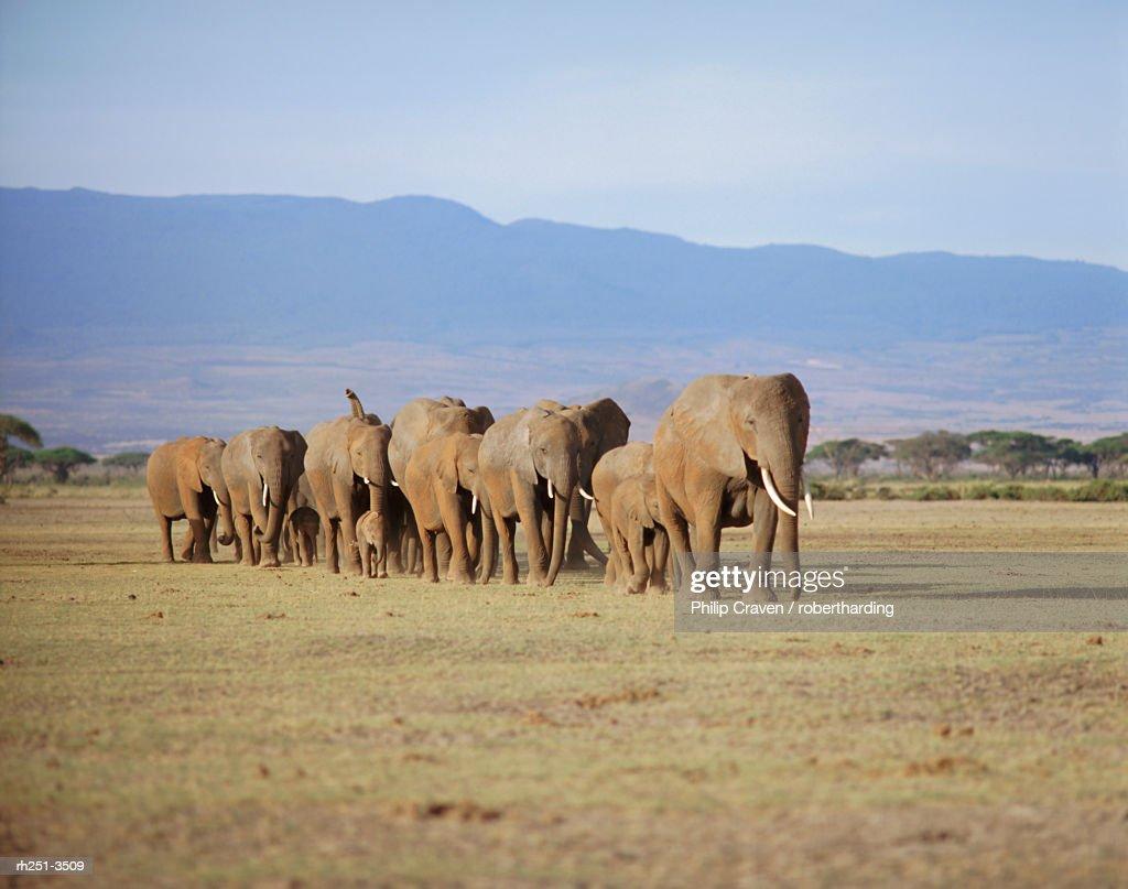 A group of elephants including young, Amboseli National Park, Kenya : Foto de stock