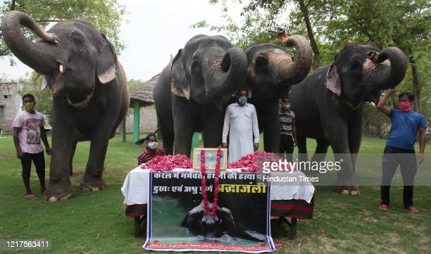 A group of elephants raise their trunks in salute to the female elephant that was killed in Kerala at Hathi Gaon on June 4 2020 in Jaipur India The...