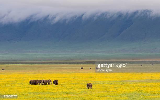 Group of Elephants (Loxodonta africana) walking in amongst bright yellow flower- covered crater floor. Ngorongoro Crater, Ngorongoro Conservation Area, Tanzania.
