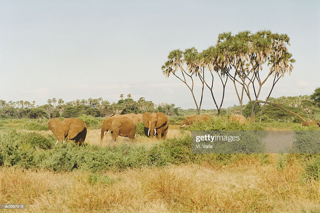 Group of Elephants Walking in Grassland : Stock Photo