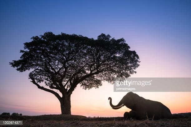 grupo de elefantes caminando en el campo de arroz de la selva tropical en tailandia - reserva natural parque nacional fotografías e imágenes de stock
