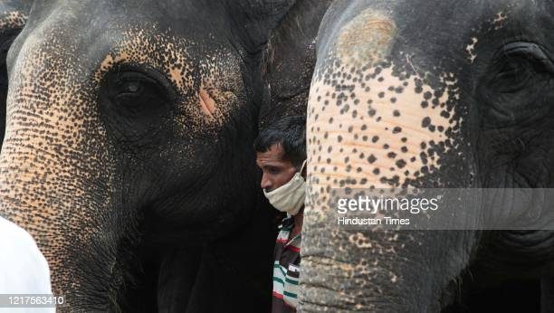 A group of elephants with their mahout during a remembrance ceremony for the female elephant that was killed in Kerala at Hathi Gaon on June 4 2020...