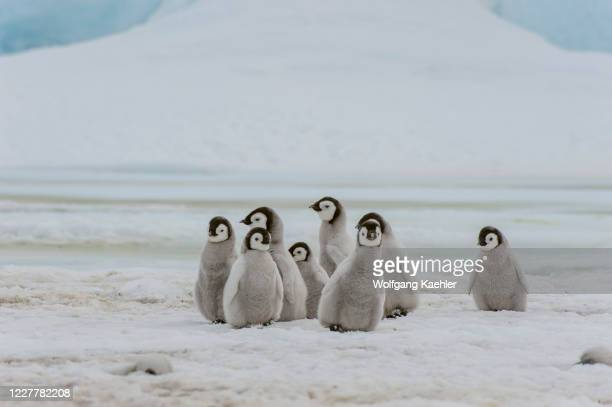 Group of Emperor penguin chicks is walking on the fast ice at the Emperor penguin colony at Snow Hill Island in the Weddell Sea in Antarctica.