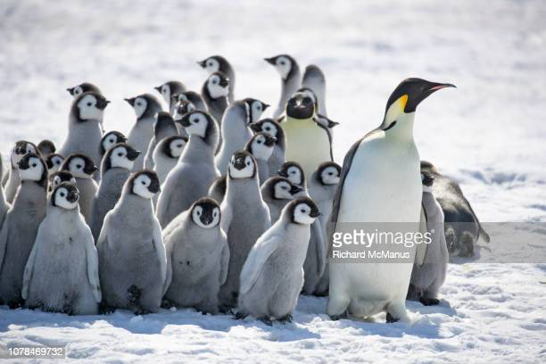 group of emperor penguins at snow hill. - emperor penguin chick stock pictures, royalty-free photos & images