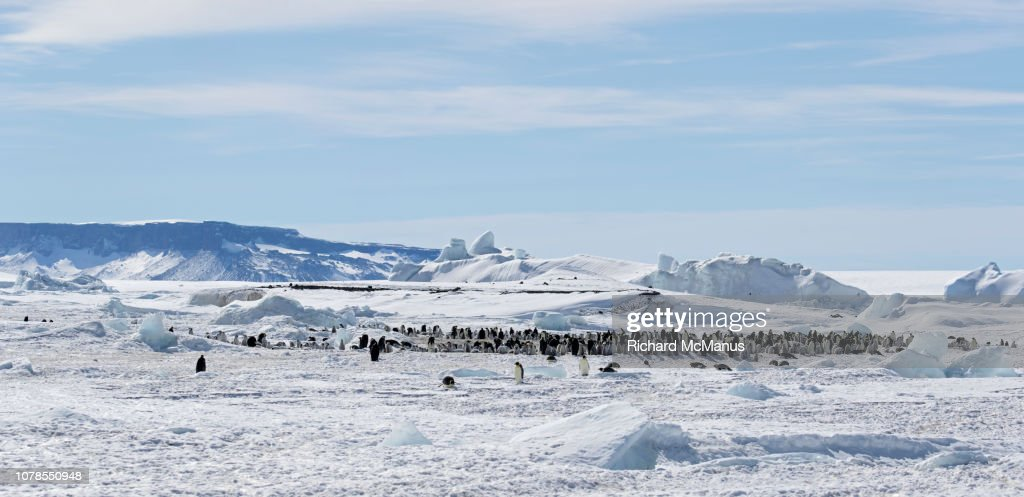 Group of Emperor Penguins at Snow Hill. : Stock Photo