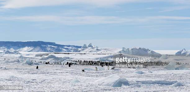 group of emperor penguins at snow hill. - rookery stock pictures, royalty-free photos & images